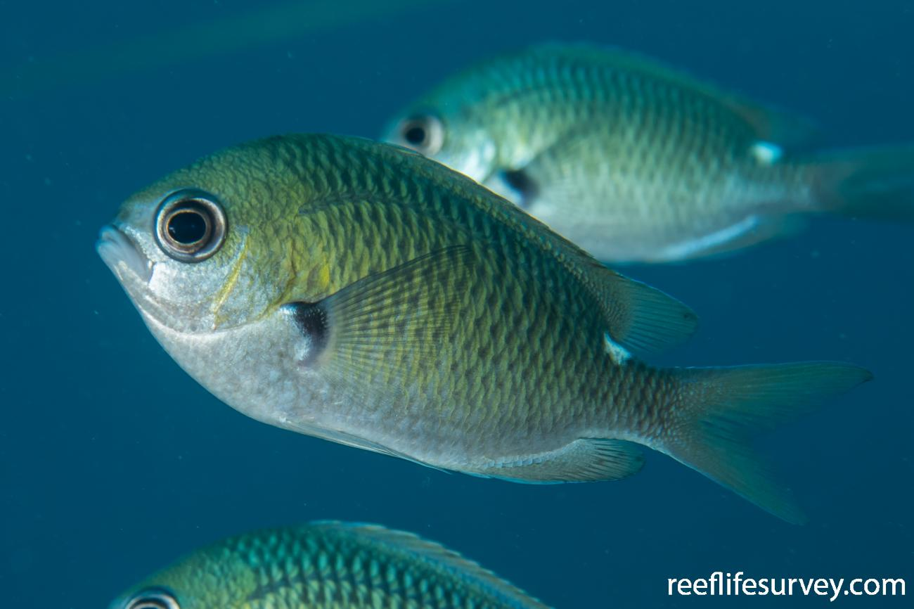 Chromis hypsilepis, Lord Howe Is, NSW,  Photo: Rick Stuart-Smith