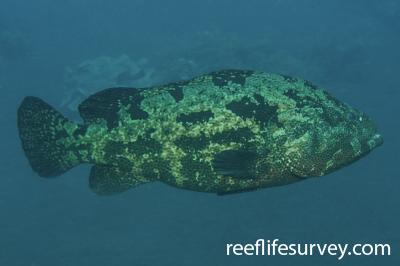 Epinephelus fuscoguttatus: Adult, Bali, Indonesia,  Photo: Ian Shaw