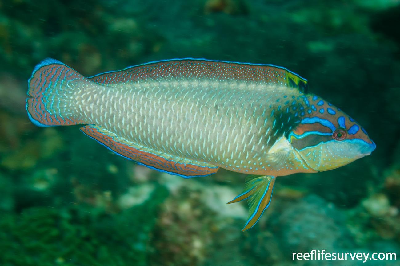 Anampses neoguinaicus, Adult, NSW, Australia,  Photo: Ian Shaw