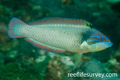 Anampses neoguinaicus: Adult, NSW, Australia,  Photo: Ian Shaw