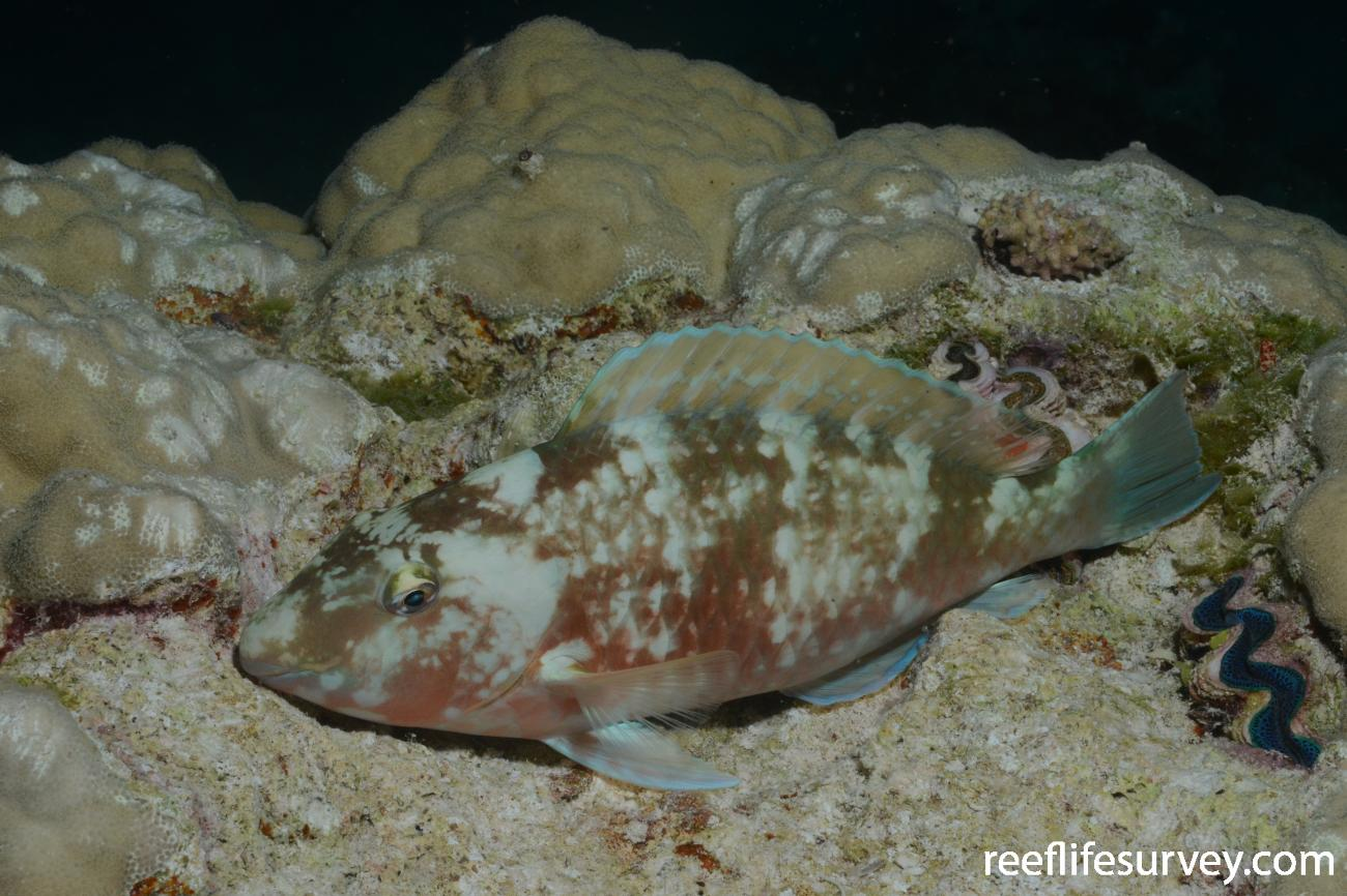 Hipposcarus longiceps, Night colouration. Cook Islands,  Photo: Graham Edgar