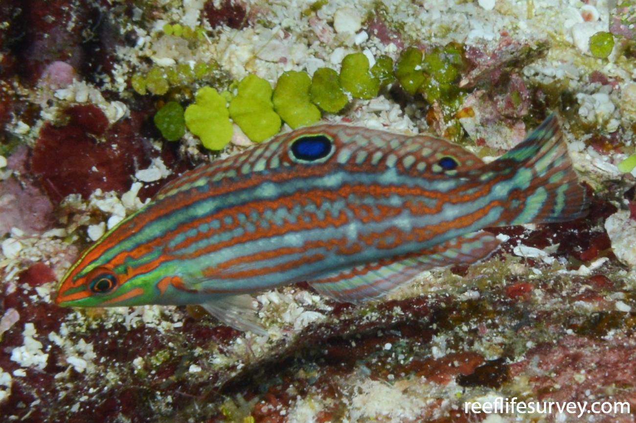 Halichoeres ornatissimus, Juvenile, Mellish Reef, Coral Sea,  Photo: Graham Edgar