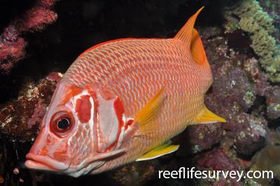 Sargocentron spiniferum: Red Sea,  Photo: Rick Stuart-Smith