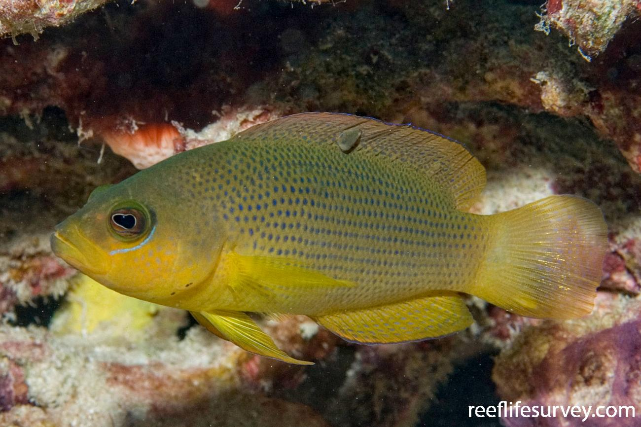 Pseudochromis fuscus, Great Barrier Reef, Cairns, QLD,  Photo: Andrew Green
