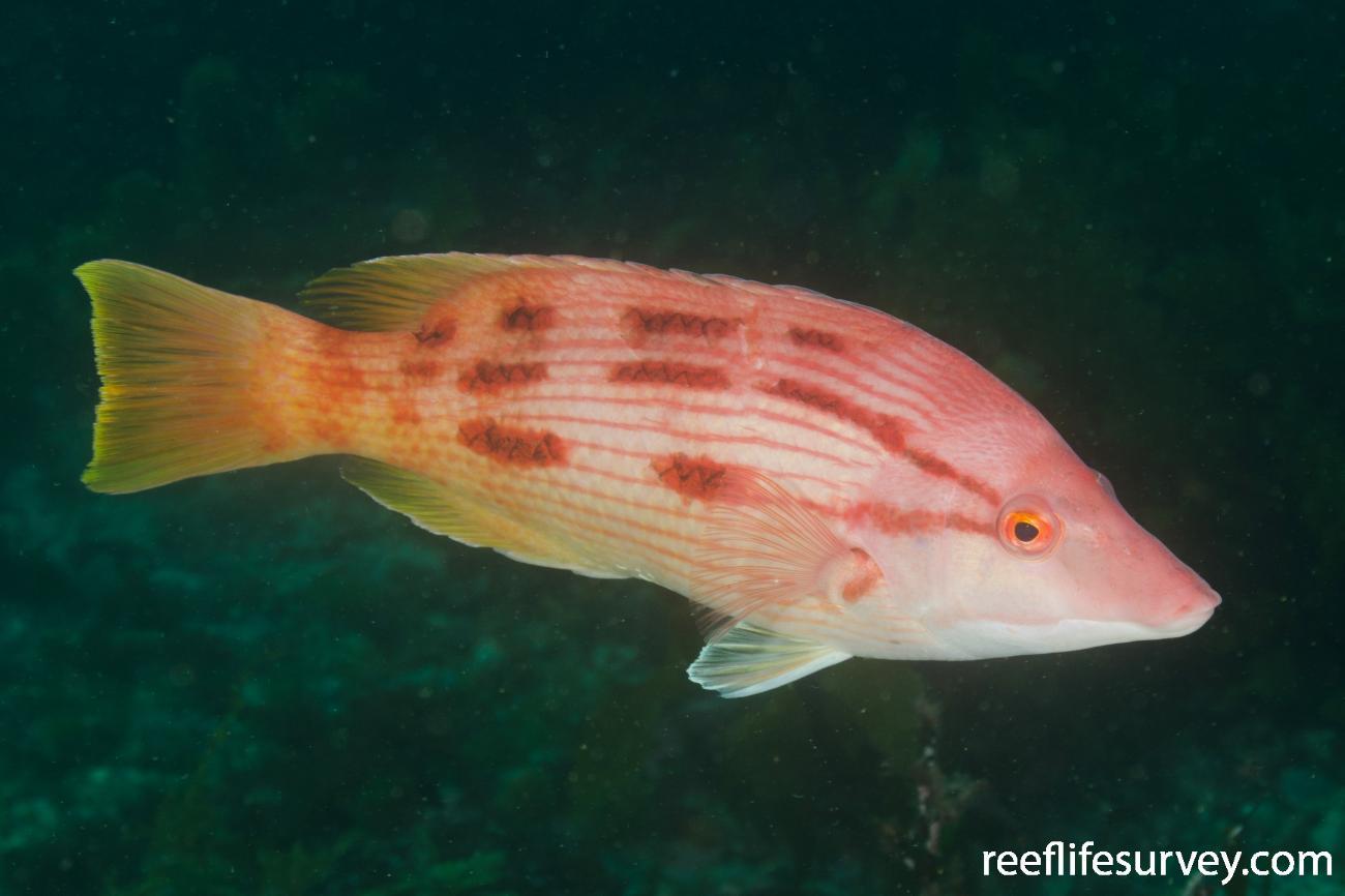 Bodianus unimaculatus, Northland, New Zealand,  Photo: Ian Shaw