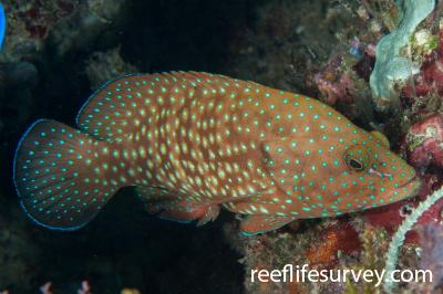 Cephalopholis cyanostigma: Raja Ampat, Indonesia,  Photo: Rick Stuart-Smith
