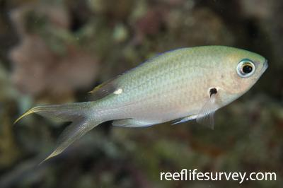 Chromis multilineata: Belize,  Photo: Rick Stuart-Smith