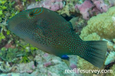 Canthigaster amboinensis: Adult.  Photo: Rick Stuart-Smith