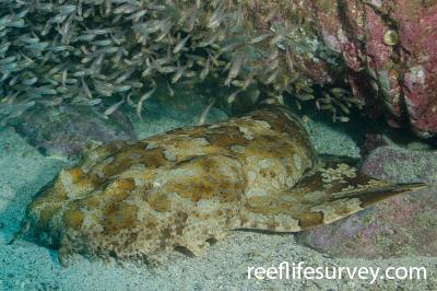 Orectolobus halei: Adult, Solitary Islands, NSW,  Photo: Ian Shaw