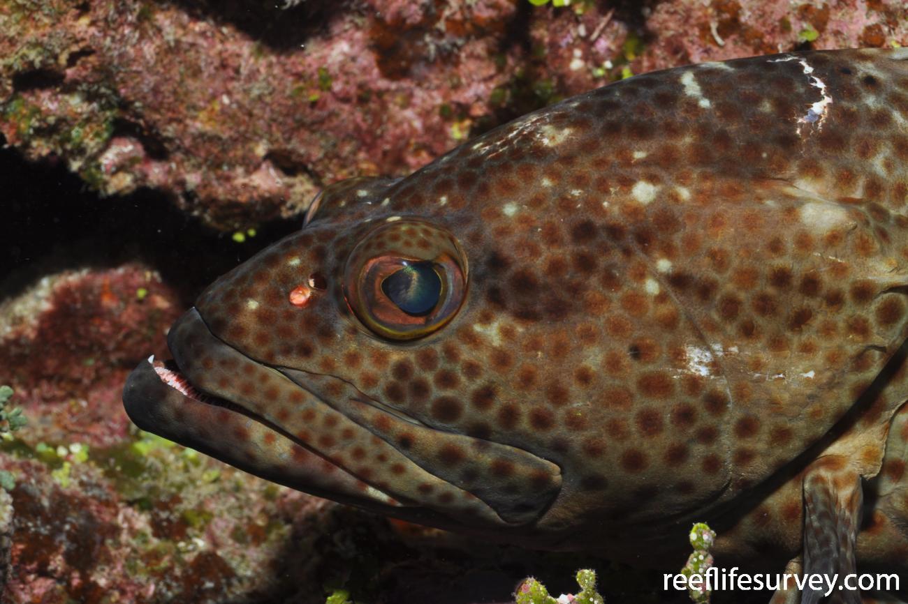 Epinephelus tauvina, Herald Cay, Coral Sea,  Photo: Rick Stuart-Smith