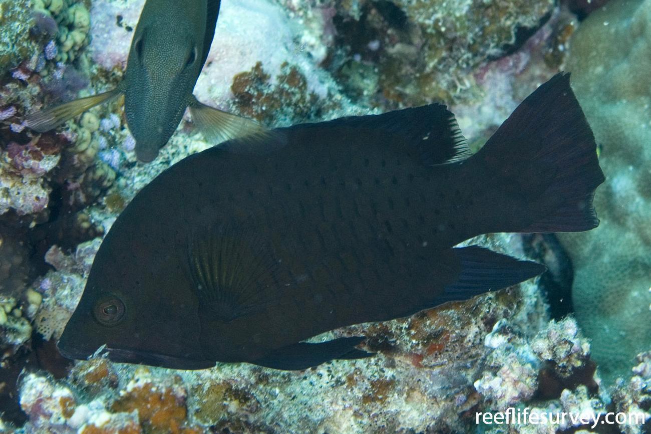 Epibulus insidiator, Naigani Is, Fiji,  Photo: Andrew Green