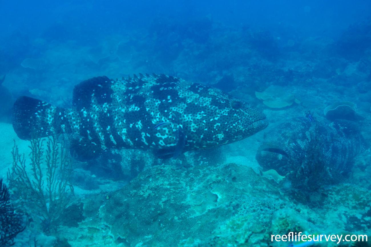 Epinephelus malabaricus, Adult, Gulf of Carpentaria, QLD,  Photo: Andrew Green