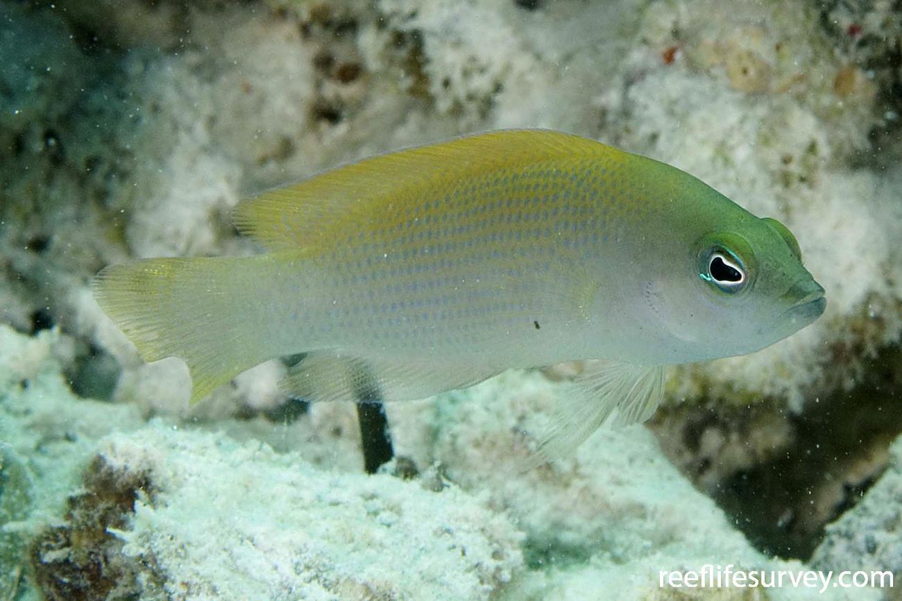 Pseudochromis fuscus, North WA, Australia,  Photo: Andrew Green