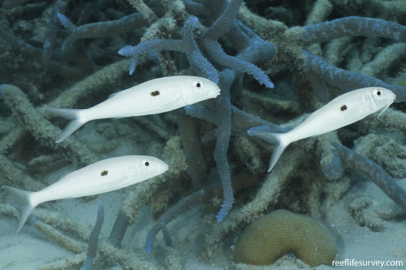 Mulloidichthys flavolineatus, Pale phase, Coral Sea, Australia,  Photo: Ian Shaw
