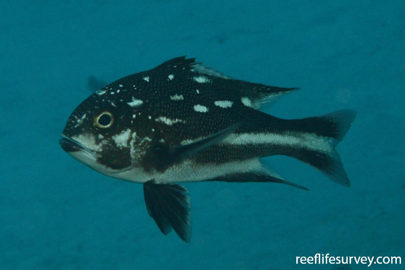 Macolor macularis, Juvenile, Diamond Islet, Coral Sea,  Photo: Graham Edgar