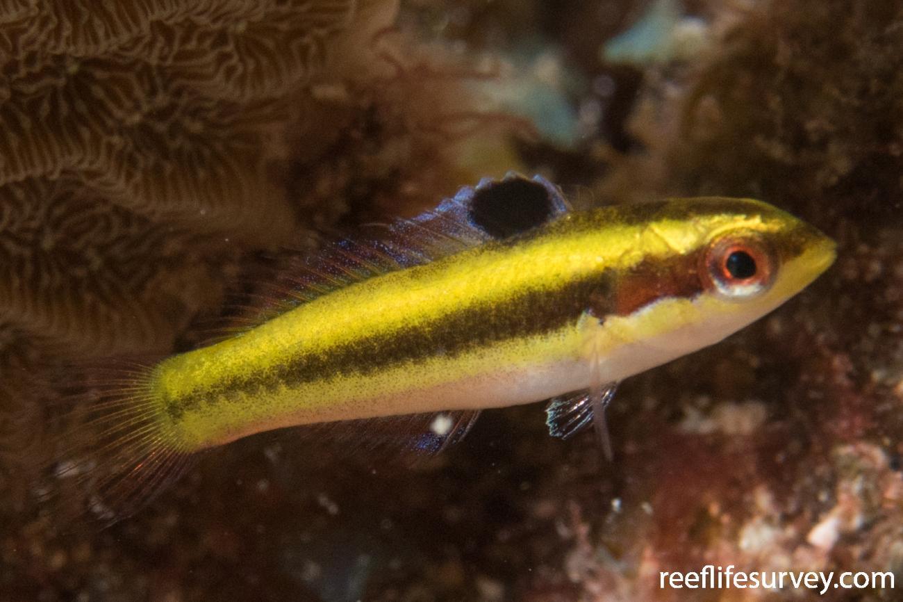 Thalassoma bifasciatum, Juvenile, Belize,  Photo: Rick Stuart-Smith