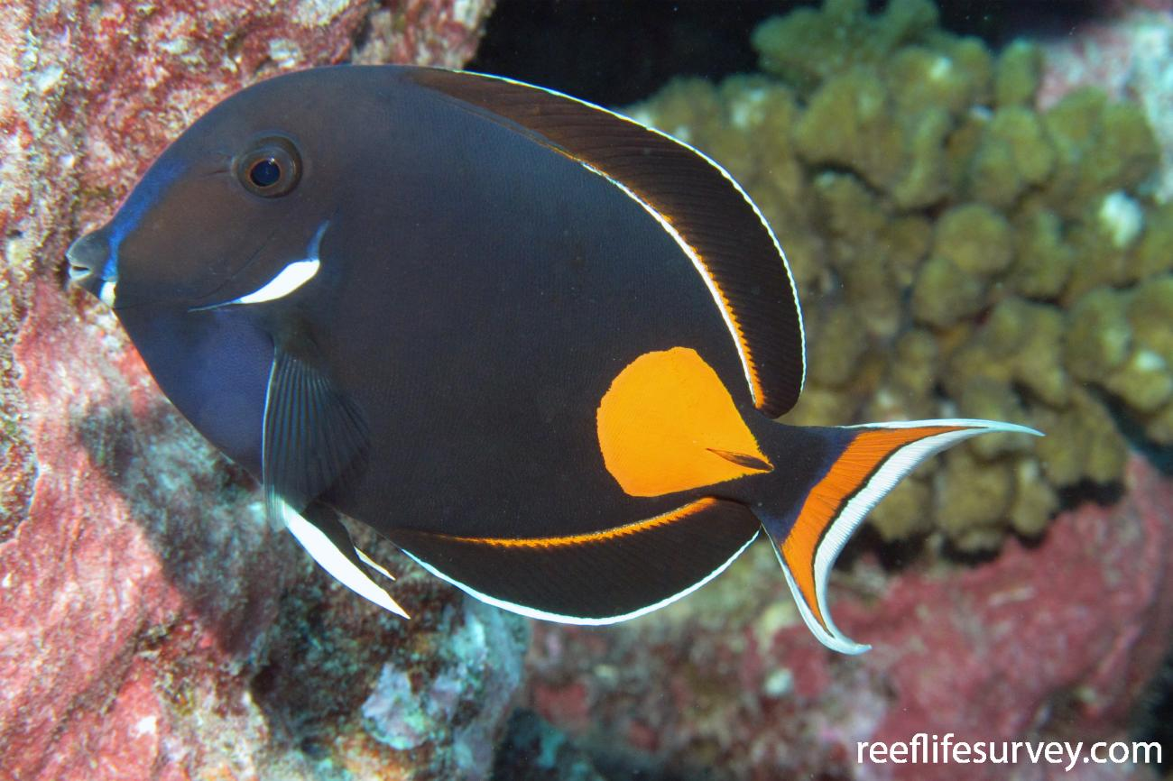 Acanthurus achilles, Adult, French Polynesia,  Photo: Antonia Cooper