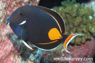 Acanthurus achilles: Adult, French Polynesia,  Photo: Antonia Cooper
