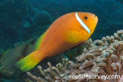 Amphiprion nigripes: Maldives,  Photo: Rick Stuart-Smith