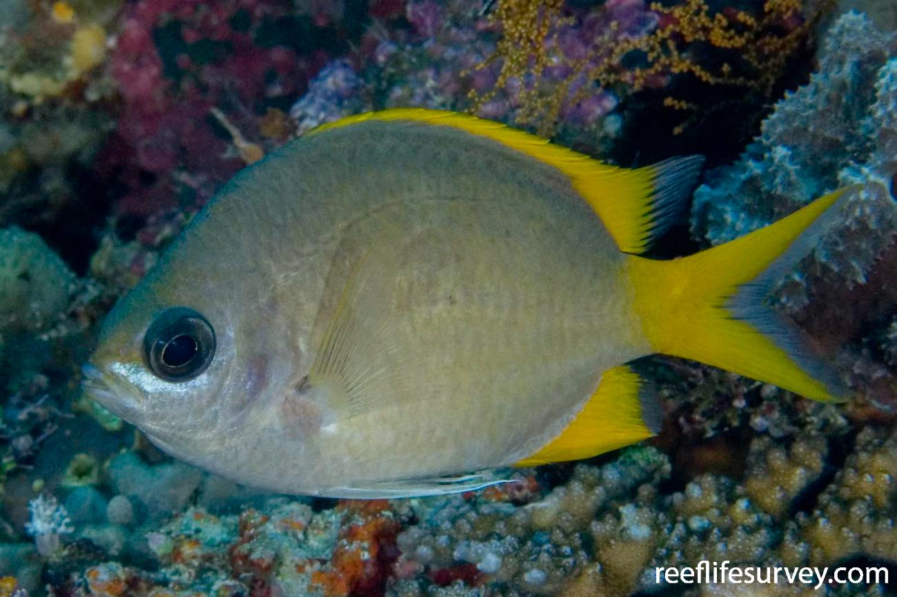 Chromis analis, Adult, Naigani Is, Fiji,  Photo: Andrew Green
