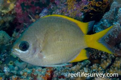 Chromis analis: Adult, Naigani Is, Fiji,  Photo: Andrew Green