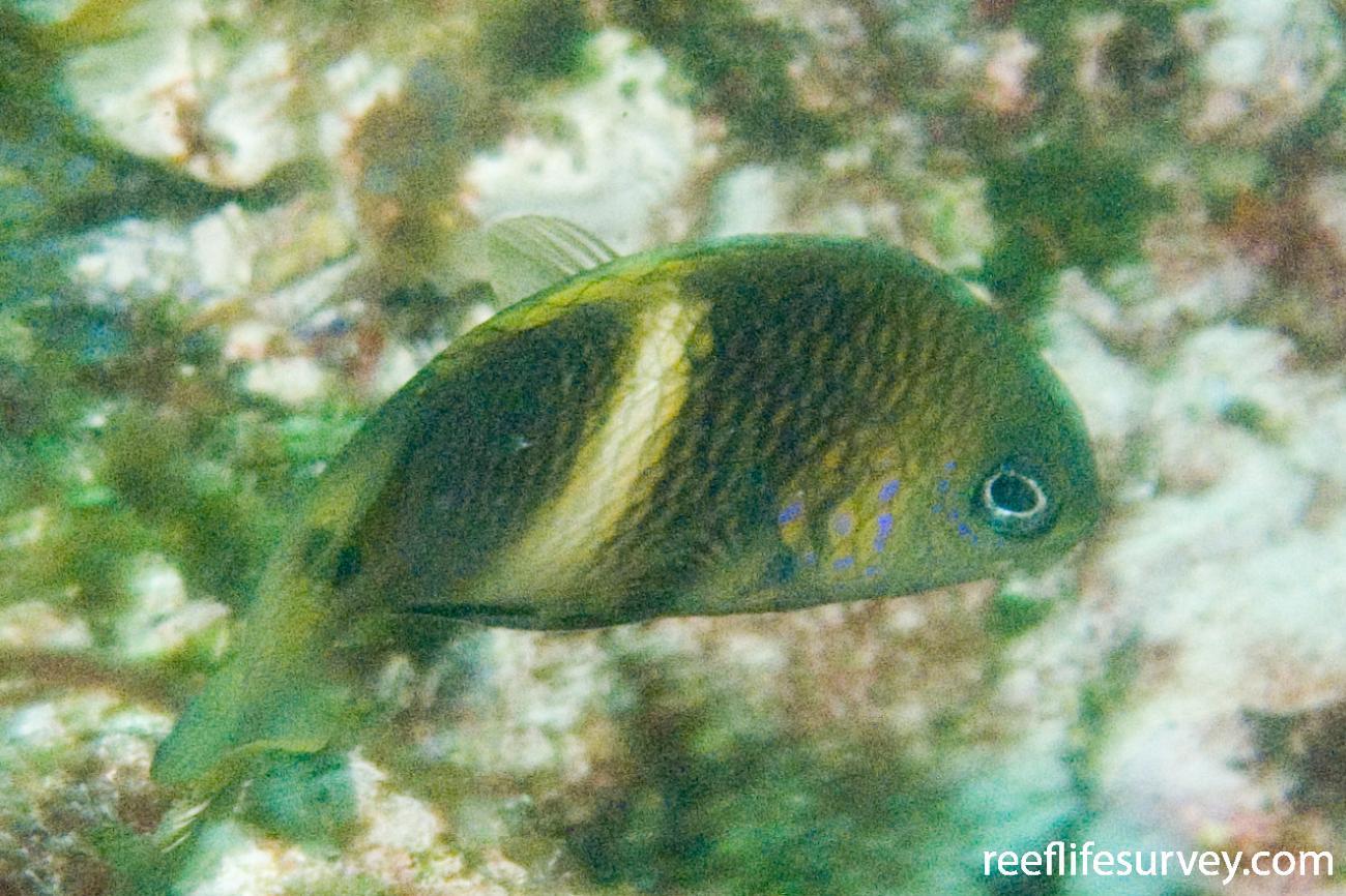 Plectroglyphidodon leucozonus, Adult, Solitary Is, NSW,  Photo: Andrew Green