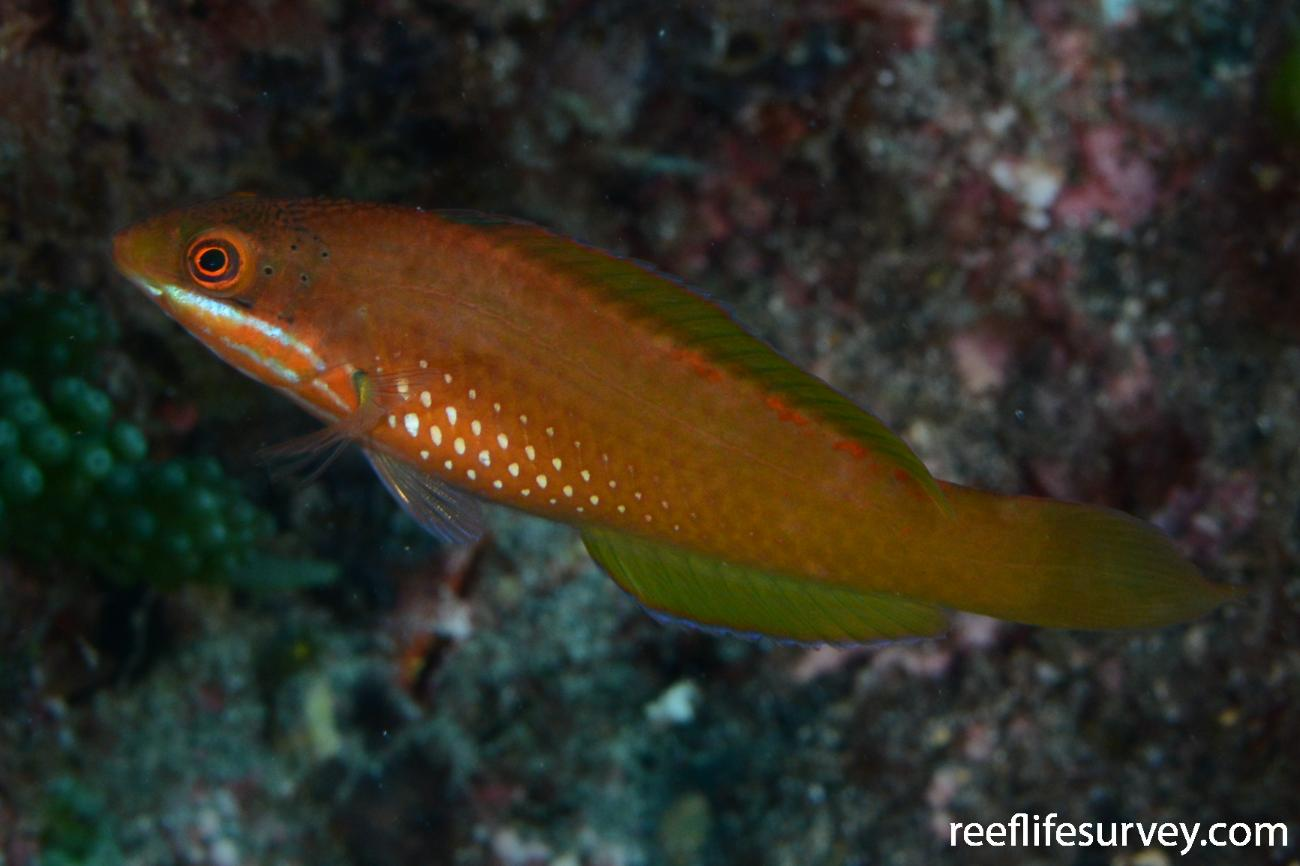 Pseudolabrus luculentus, Juvenile, Kermadec Islands, New Zealand,  Photo: Rick Stuart-Smith