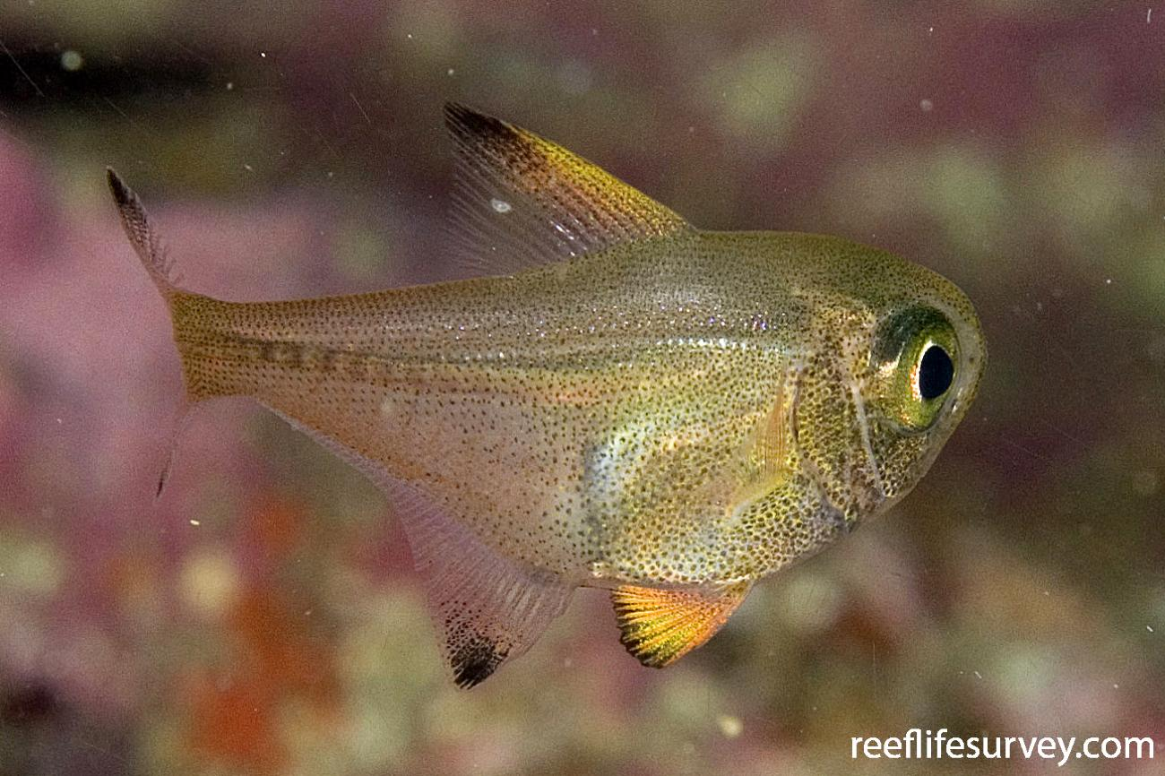 Pempheris adspersa, Juvenile, Poor Knights Is, New Zealand,  Photo: Andrew Green