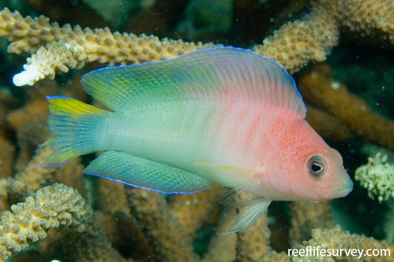 Ogilbyina queenslandiae, Great Keppel Is, QLD,  Photo: Andrew Green