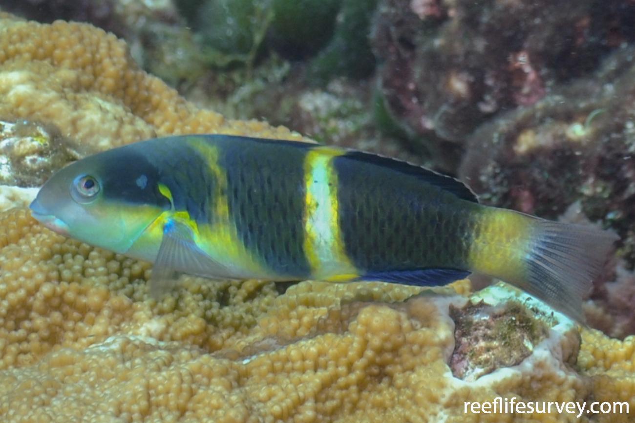 Thalassoma nigrofasciatum, Lord Howe Island, NSW, Australia,  Photo: Rick Stuart-Smith