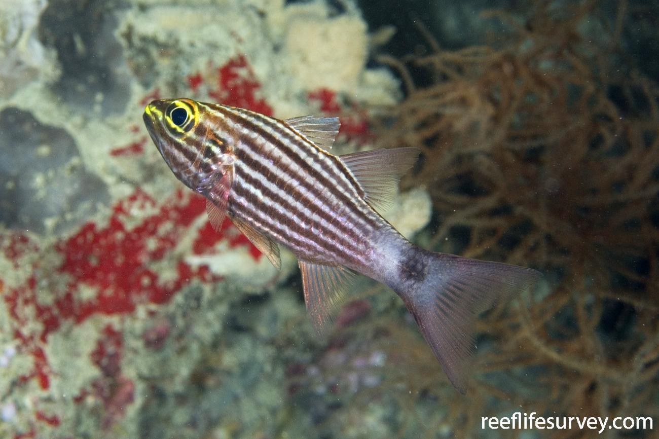 Cheilodipterus macrodon, Intermediate, Naigani Is, Fiji,  Photo: Andrew Green