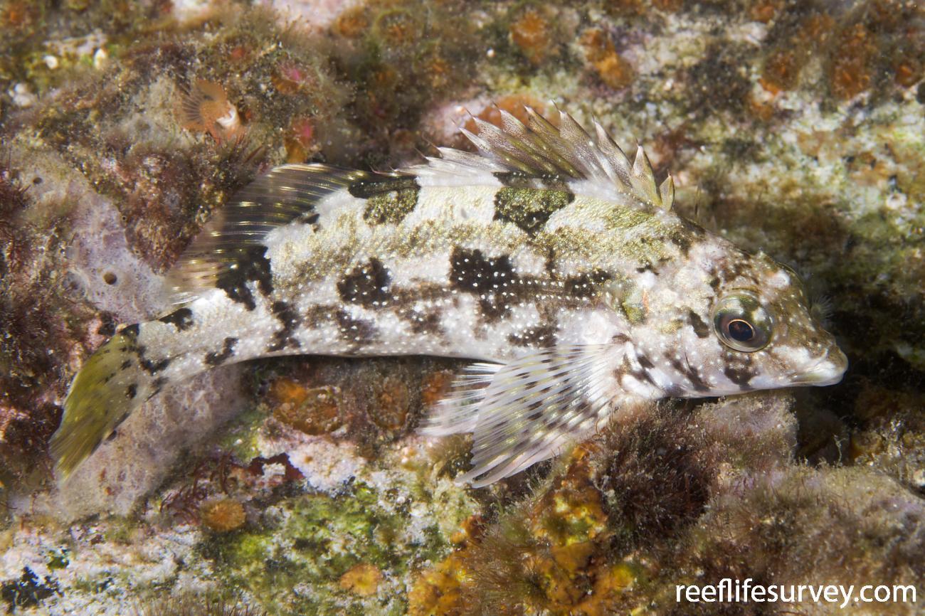 Chironemus marmoratus, Narooma, NSW,  Photo: Andrew Green