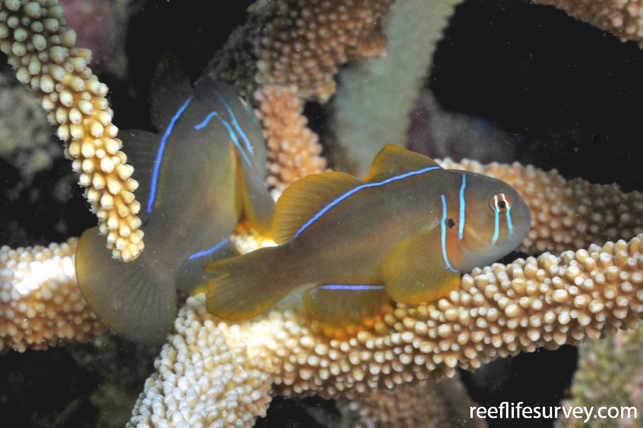 Gobiodon citrinus, WA, Australia,  Photo: Rick Stuart-Smith