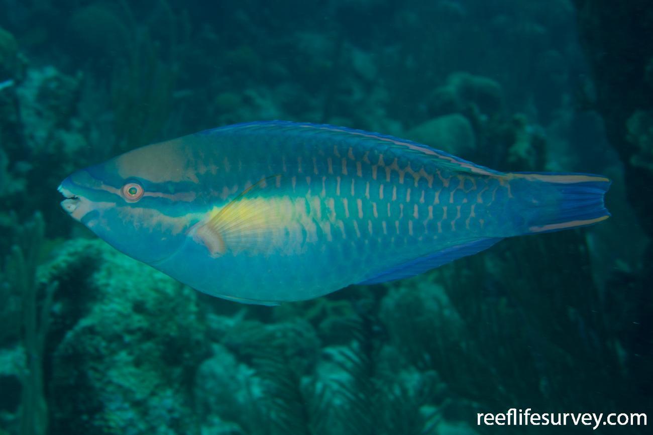 Scarus taeniopterus, Male, Turks and Caicos,  Photo: Rick Stuart-Smith