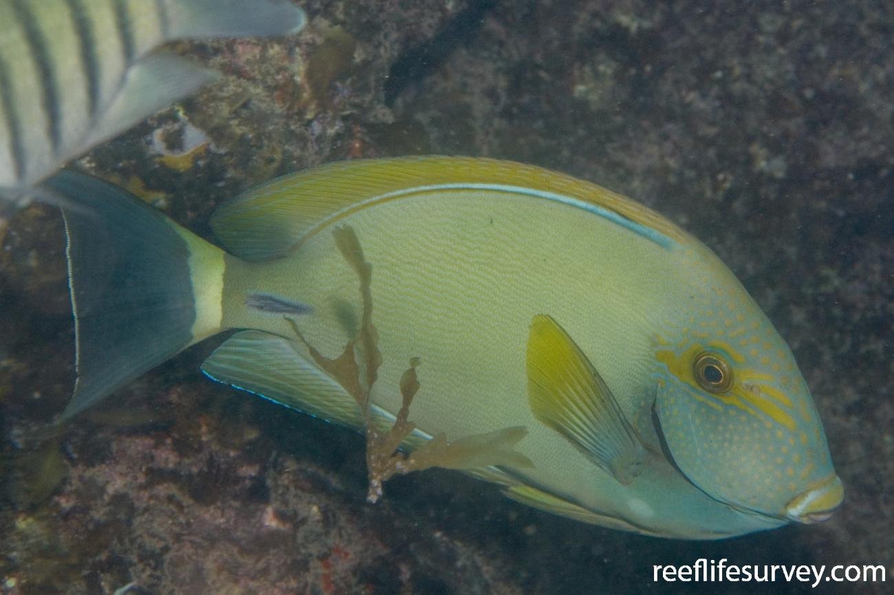 Acanthurus grammoptilus,  Photo: Andrew Green
