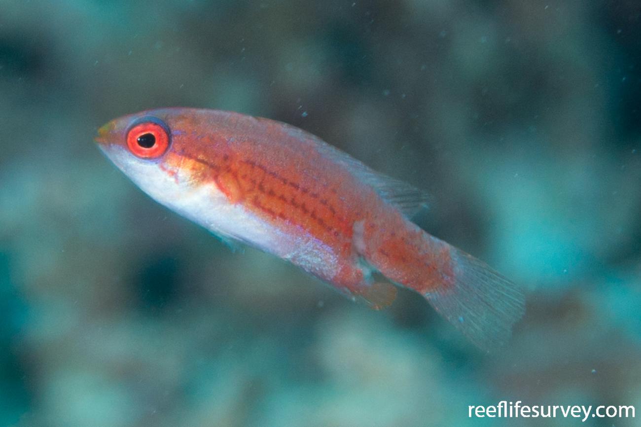Paracheilinus cyaneus, Raja Ampat, Indonesia,  Photo: Rick Stuart-Smith