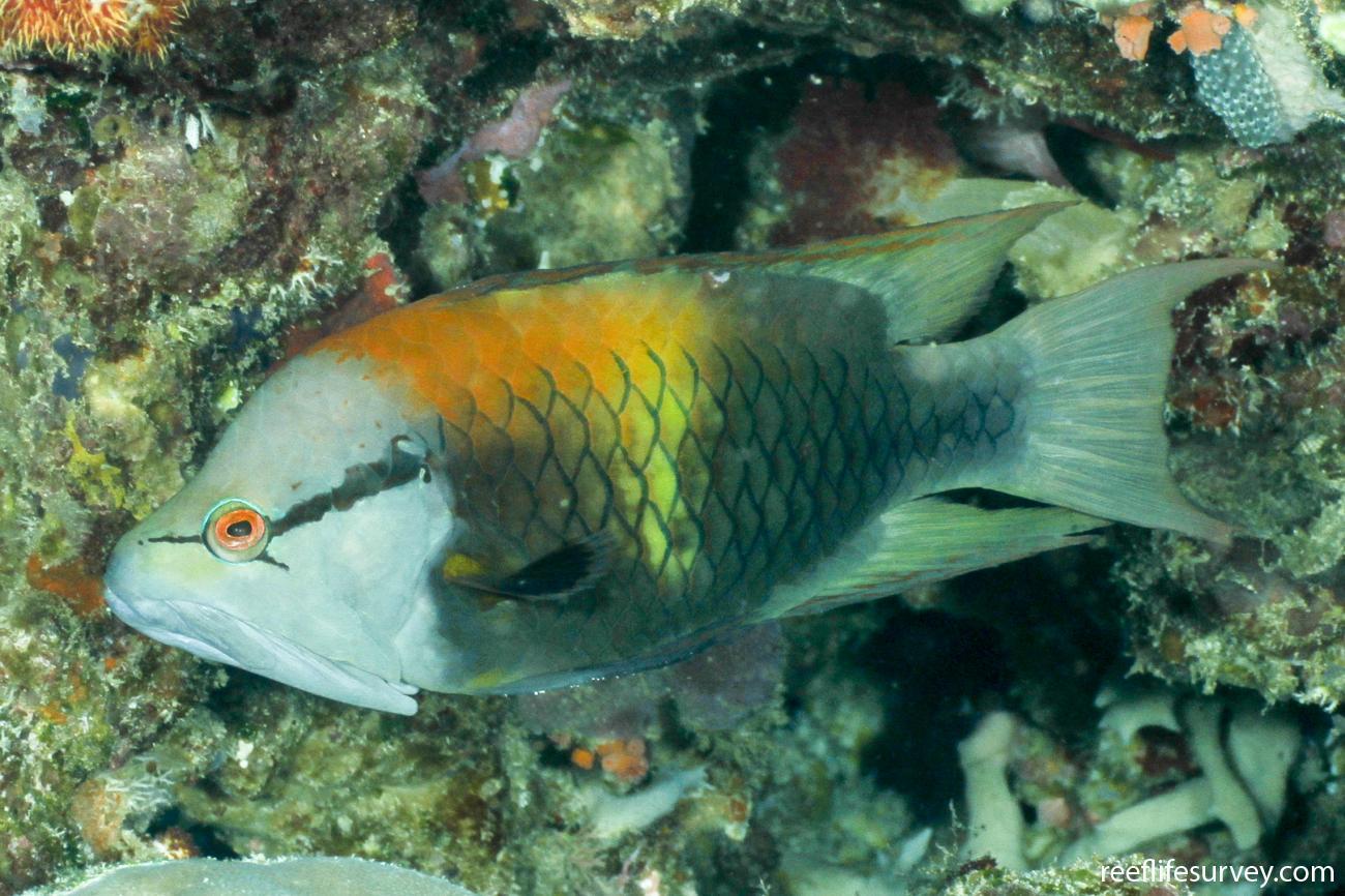 Epibulus insidiator, Male, Coral Sea, Australia,  Photo: Ian Shaw