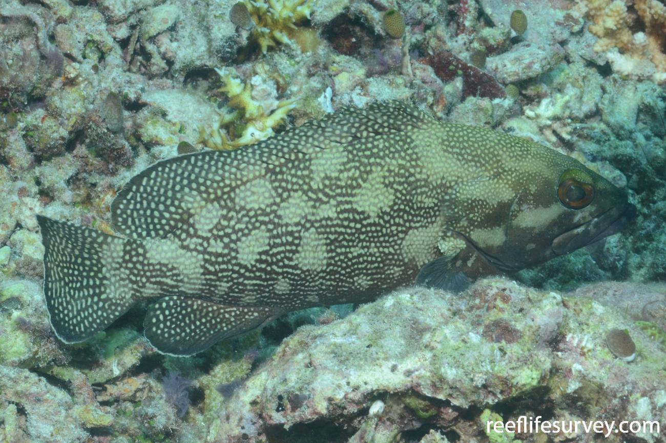 Epinephelus ongus, Raja Ampat, Indonesia,  Photo: Graham Edgar