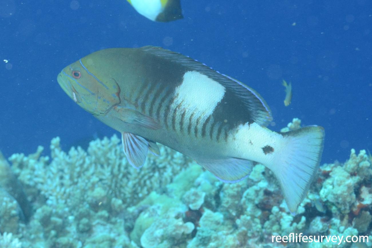 Gracila albomarginata, Bouganville Reef, Coral Sea,  Photo: Graham Edgar