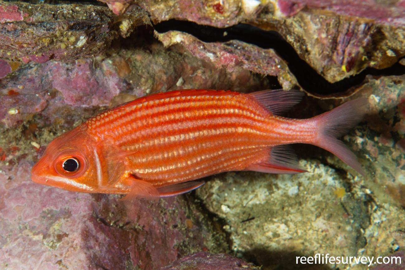 Sargocentron ittodai, NSW, Australia,  Photo: Ian Shaw