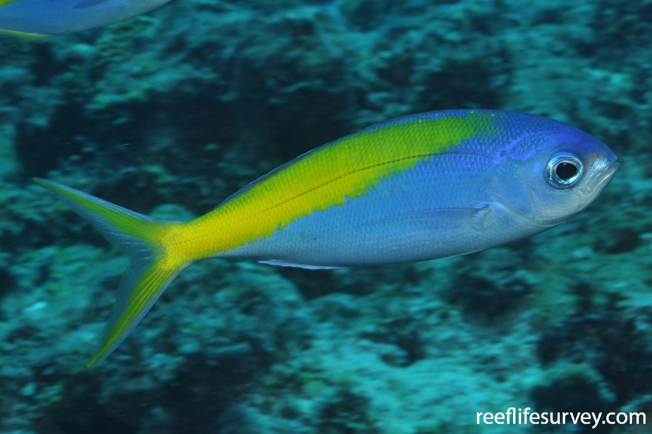 Paracaesio xanthura, Adult, Elizabeth Reef, NSW, Australia,  Photo: Graham Edgar