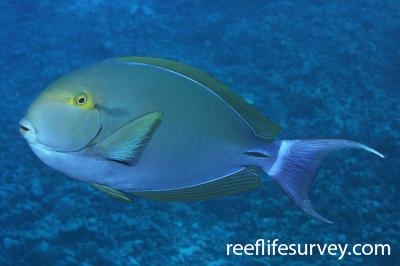 Acanthurus gahhm: Marsa Alam, Egypt,  Photo: Rick Stuart-Smith