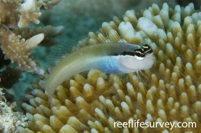 Ecsenius bandanus: Raja Ampat, Indonesia,  Photo: Andrew Green