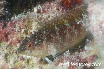 Malacoctenus macropus: Florida Keys, USA,  Photo: Graham Edgar