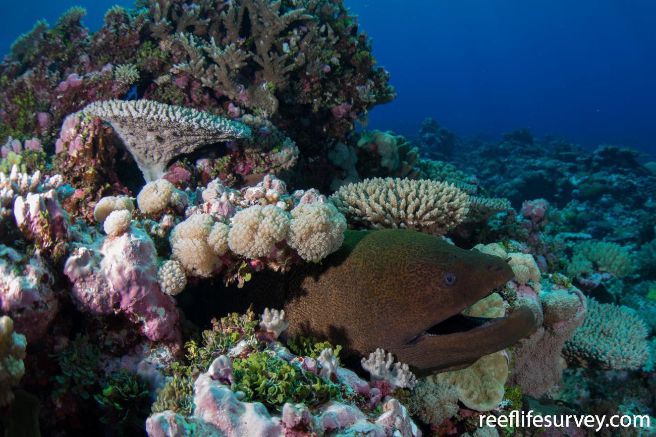 Gymnothorax javanicus, Wreck Reef, Queensland, Australia,