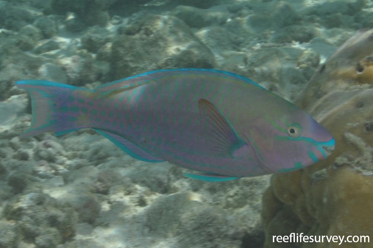 Scarus psittacus, Maldives,  Photo: Rick Stuart-Smith