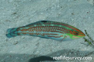 Halichoeres ornatissimus: Male, Mellish Reef, Coral Sea,  Photo: Graham Edgar
