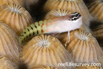 Ecsenius fijiensis: Naigani Is, Fiji,  Photo: Andrew Green