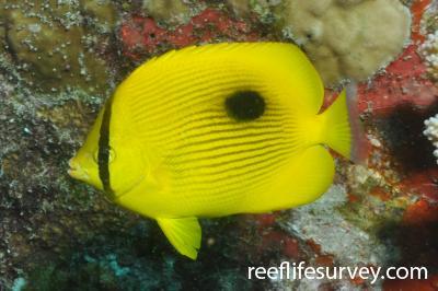 Chaetodon zanzibarensis: Seychelles,  Photo: Rick Stuart-Smith