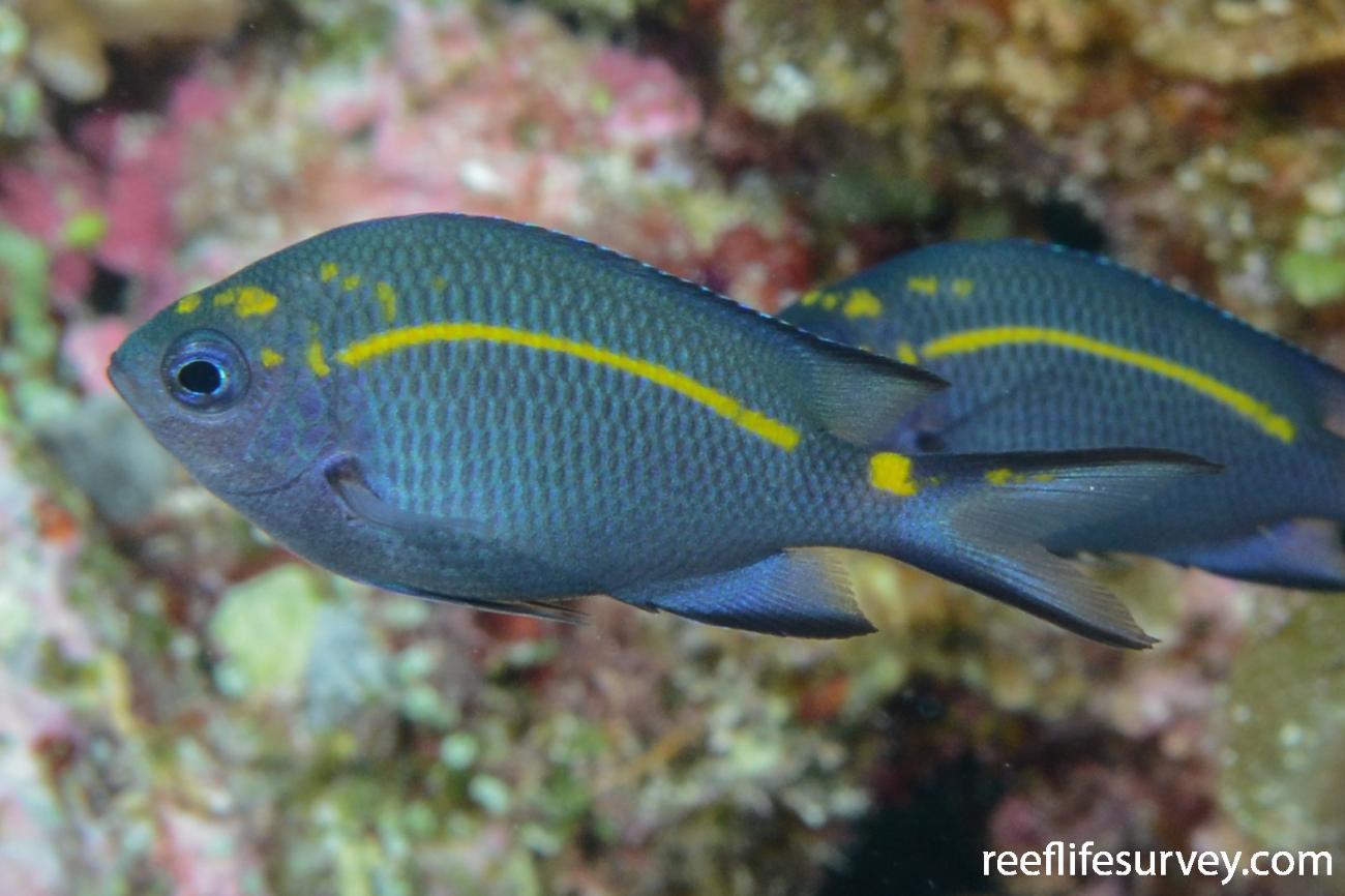 Acanthochromis polyacanthus, Juvenile.  Photo: Graham Edgar